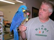 Three Hyacinth Macaw Parrots For Free Adoption